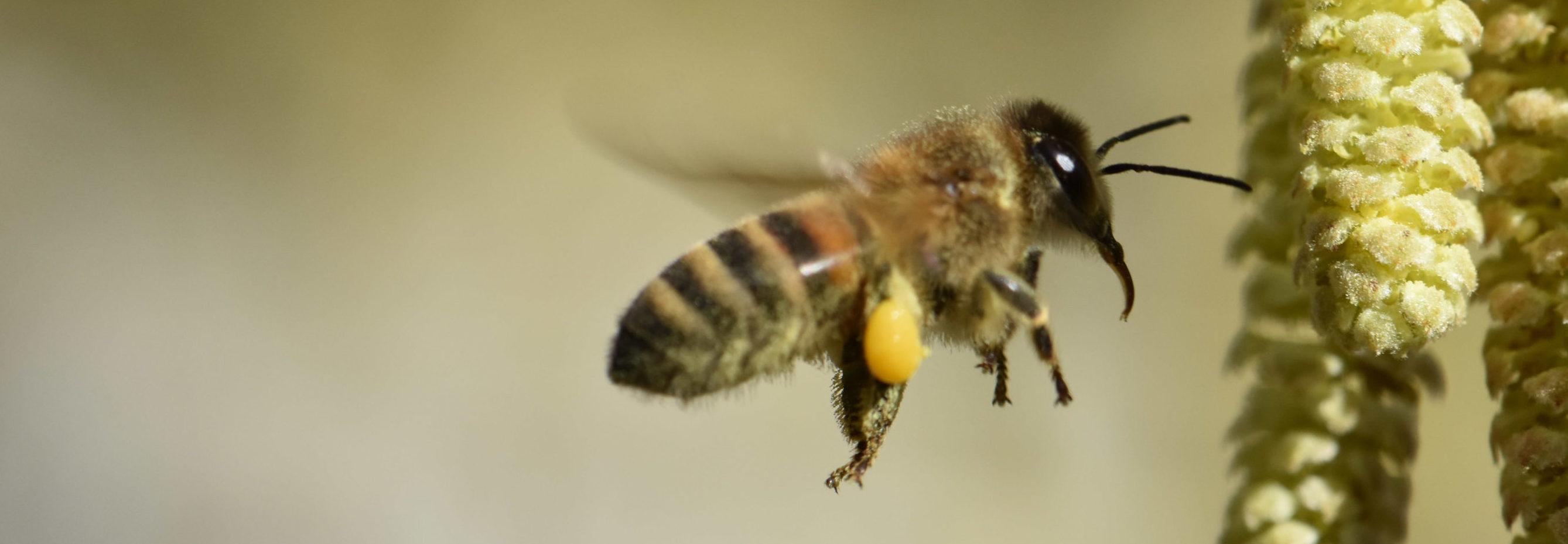 Pollen von der Haselblüte