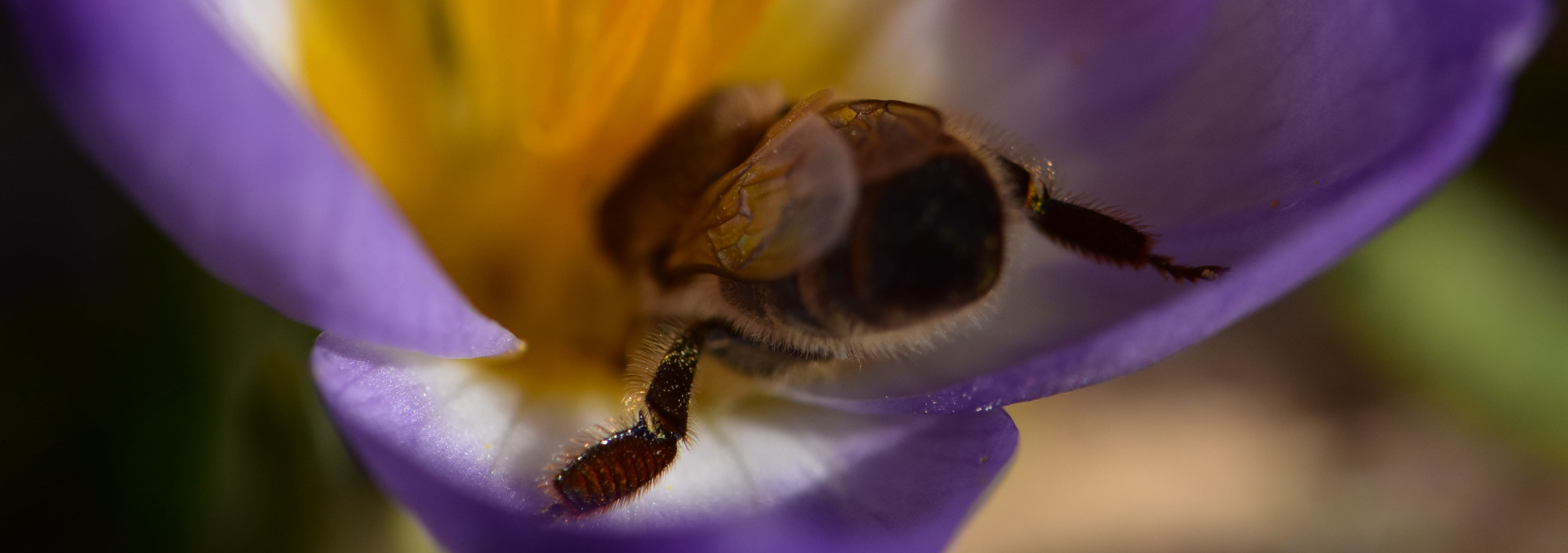 Nektar aus Krokus als Bienenfutter