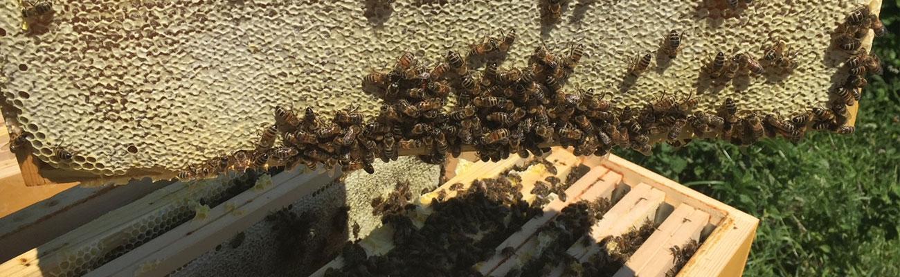 Bienenvolk mieten